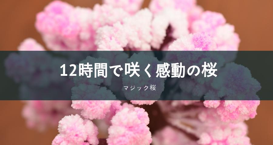 12時間で咲く感動の桜「マジック桜」
